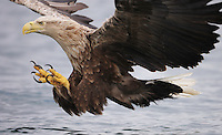 White-tailed Sea Eagle, Haliaeetus albicilla, Flatanger, Norway