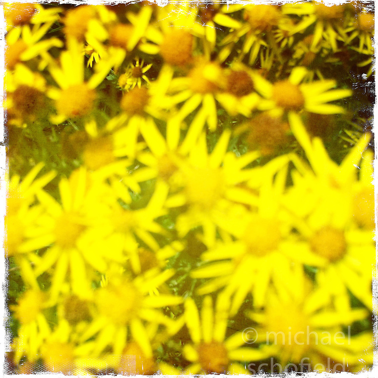 Flowers..Hipstamatic images taken on an Apple iPhone..©Michael Schofield.