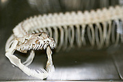 Tanzania, A skeleton of a venomous snake on display in a natural history museum. The mouth, fangs and ribs can be seen