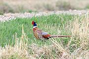 Rooster Pheasant in Habitat