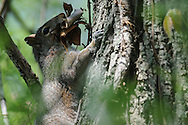 Squirrel climbing up tree with leaves for possible nesting material.