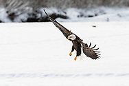 Bald Eagle (Haliaeetus leucocephalus) in flight searching for salmon in the Chilkat Bald Eagle Preserve in Southeast Alaska. Winter. Afternoon.