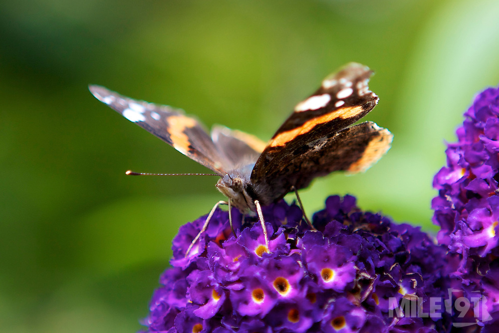 A butterfly on budlia plant. This photo was taken in Cornwall.