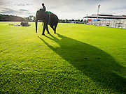 """28 AUGUST 2014 - BANGKOK, THAILAND:      A  mahout and his elephant walk into the King's Cup Elephant Polo Tournament at VR Sports Club in Samut Prakan on the outskirts of Bangkok, Thailand. The tournament's primary sponsor in Anantara Resorts. This is the 13th year for the King's Cup Elephant Polo Tournament. The sport of elephant polo started in Nepal in 1982. Proceeds from the King's Cup tournament goes to help rehabilitate elephants rescued from abuse. Each team has three players and three elephants. Matches take place on a pitch (field) 80 meters by 48 meters using standard polo balls. The game is divided into two 7 minute """"chukkas"""" or halves.    PHOTO BY JACK KURTZ"""