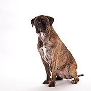Interested Boxer dog, brindle, with jowls, seated on white background, three quarter view
