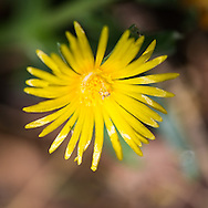 Yellow ice plant flower.