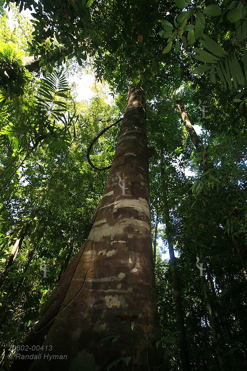 Lush trees of neotropical rainforest form thick green canopy as seen from jungle floor; Corcovado National Park; Costa Rica.
