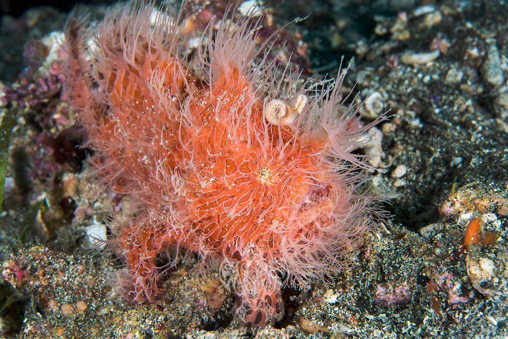Hairy Frogfish, in an unusual strawberry colored variation<br /> <br /> Shot in Indonesia