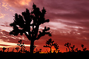 Red sunset and Joshua Trees at Joshua Tree National Park in southern California, USA.
