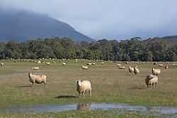 Sheep at Blackwood Creek in noerthern Tasmania, at the base of the Great Western Tiers.