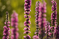 Purple Loosestrife (Lythrum salicaria) in morning light. Pont-du-Chateau, Auvergne, France.