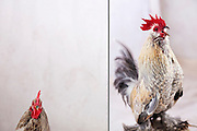Lucky the Bantam rooster from the series Cluck! Woof! Baa! The Secret Language of Animals..