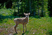 Young American or Rocky Mountain bighorn sheep (Ovis canadensis canadensis) in Kananaskis Country<br />