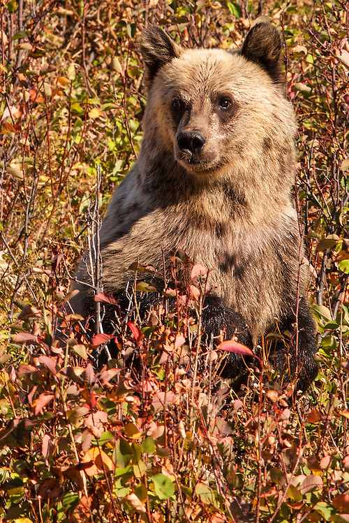 A grizzly cub standing up between berry-rich brushes