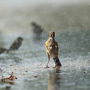 July 8, 2010 - Lexington, Kentucky, USA - Birds enjoy the water from a lawn sprinkler. (Credit Image: © David Stephenson/ZUMA Press).