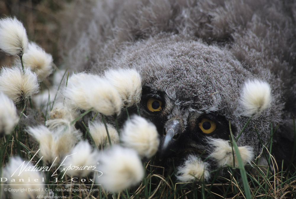 Snowy Owl (Nyctea scandiaca) chick in cotton grass. Barrow, Alaska