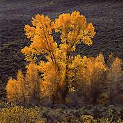 Cottonwood Tree  on hillside near Silverthorne, SummitCounty, CO, Fall