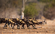 Painted wolves live in packs and are Africa's most efficient predator and around 80% of their hunts are successful. They are also Africa's most persecuted creature with only 6,500 now left in the wild. A century ago there were half a million.