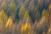Larch trees in variety of shades of autumn colour in the Brecon Beacons, Wales, UK