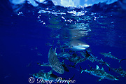 gray reef sharks, Carcharhinus amblyrhynchos, Bikini Atoll, Marshall Islands, Micronesia ( Central Pacific Ocean )