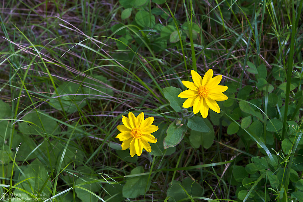 Mountain Arnica (Arnica montana) growing in Ellison Provincial Park near Vernon, British Columbia, Canada