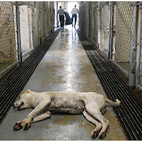 A dog injected with Euthasol lies on the floor as Rabies Control officers Steve Peele, right, and Fred Wade carry a euthanized dog out of the Pitt County Animal Shelter. 1,900 cats and dogs were ?put down? at the shelter between July 2006 and March 2007.