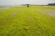 QINGDAO, CHINA - JULY 07: (CHINA OUT) <br /> <br /> Tourists Play On Beach Covered By Enteromorpha<br /> <br /> Tourists play on a beach covered with enteromorpha prolifera on July 7, 2015 in Qingdao, Shandong Province of China. Enteromorpha has hit Qingdao in summer for eight years, but makes no effect to the tourists. <br /> ©Exclusivepix Media
