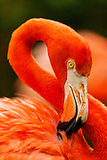 Caribbean flamingos perform their daily march at the Ardastra Gardens Zoo and Conservation Center in Nassau, The Bahamas.