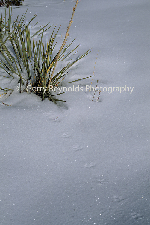 Animal Tracks, Snow, Winter, Zion, Zion National Park, Utah