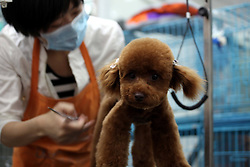 59646719.A working staff trims the hair of a pet dog at a store in Tonglu County, east China s Zhejiang Province, May 14, 2013. Pet dogs hair was cut short as the hot summer is approaching, May 14, 2013. Photo by: imago / i-Images. UK ONLY