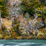 Fall colours on Southern beech along the Rio Paine in Torres del Paine National Park, Patagonia, Chile.