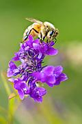 Honey Bee collecting pollen in a garden, New Zealand