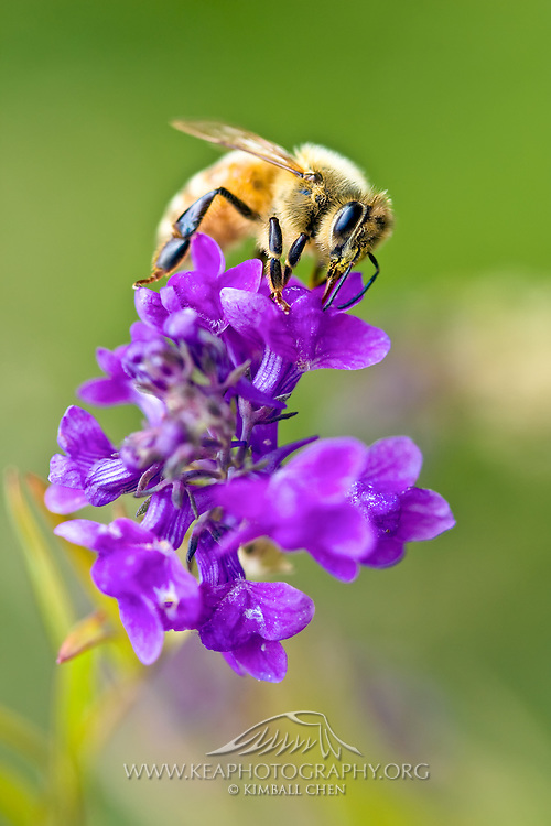 Honey Bee collecting pollen in a garden, New Zealand