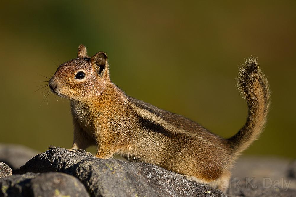 Columbian Groundsquirrel