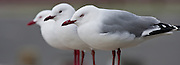 Red-billed Gull, Stewart Island, New Zealand