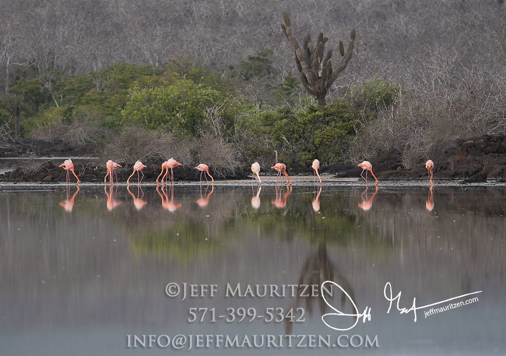 American flamingos feeds in a brackish lagoon on Floreana island in the Galapagos archipelago of Ecuador.