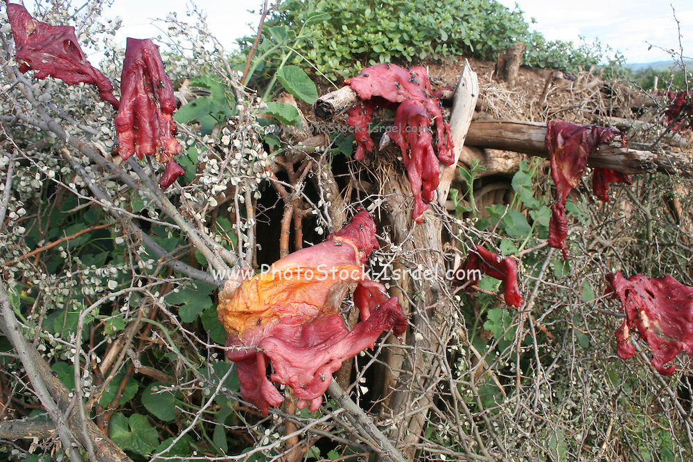 Africa, Tanzania, members of the Datoga tribe Meat hanging out to dry.Green bottle flies (Phaenicia sericata)  can be seen on the meat April 2006