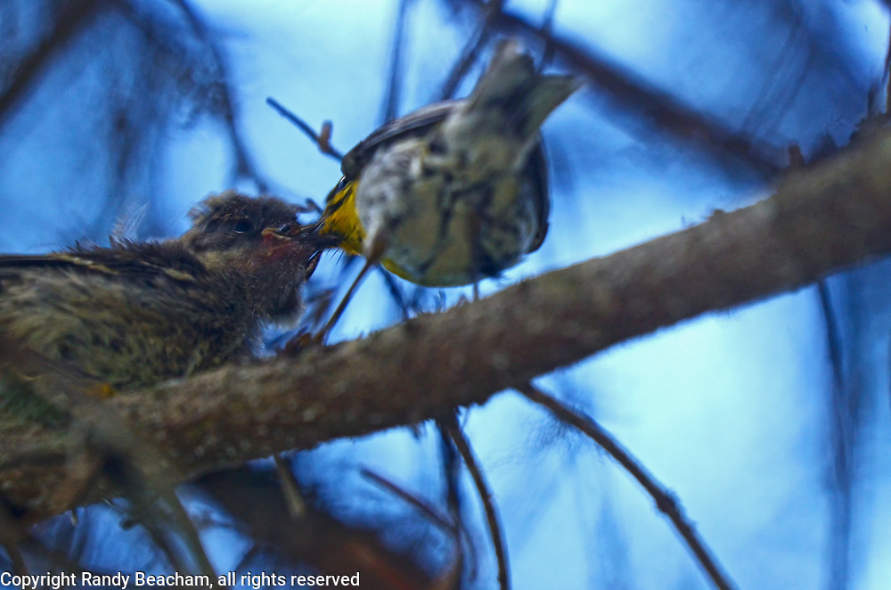 A female Townsend's warbler feeds a newly born chick that fledged the nest early in an old-growth western larch forest on Wood Mountain in the Kootenai National Forest. Yaak Valley in the Purcell Mountains, northwest Montana.