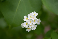Spirea (Spiraea)  blooms on June 11, 2017, in Salmon, Idaho. (© 2017 Cindi Christie/Cyanpixel)