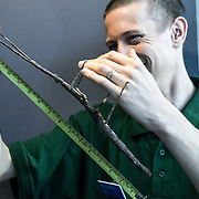 Giant Asian stick insect Annual weigh in at ZSL London Zoo on 23 August 2018, London, UK