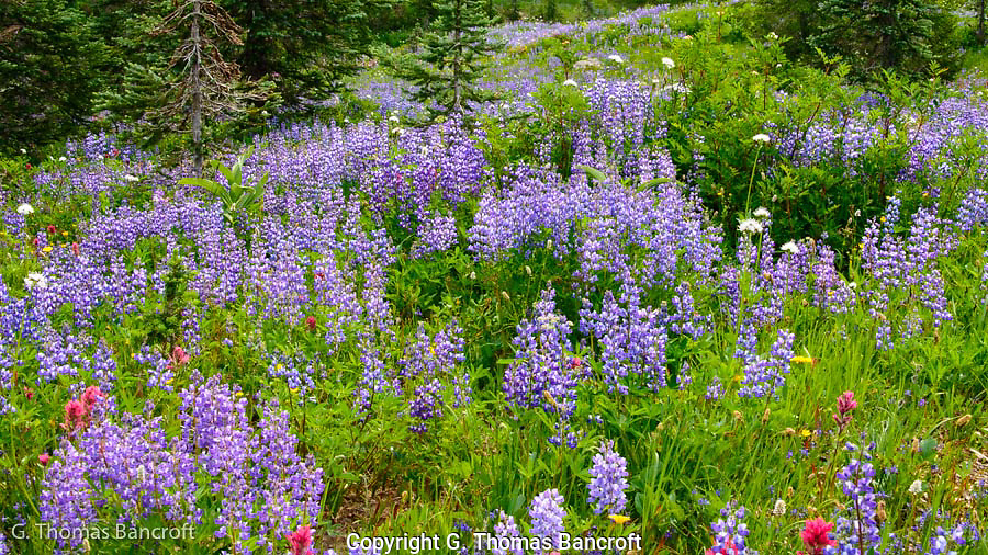 Lupines dominated the landscape on the Naches Peak loop.  A few paintbrush and other flowers added some contrast to the blue.