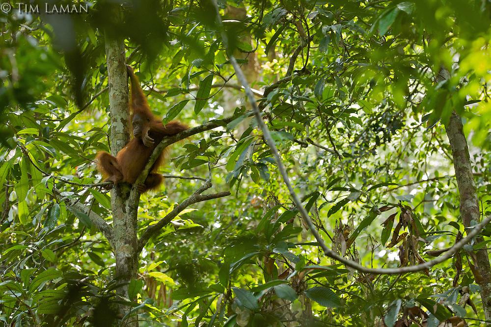 Young adult female Bornean Orangutan (Pongo pygmaeus)..(Walima aka Martina).