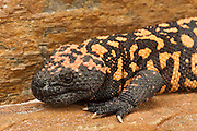 Gila Monster (Heloderma suspectum) <br /> CAPTIVE<br /> USA<br /> HABITAT & RANGE: They inhabit scrubland, succulent desert, and oak woodland, seeking shelter in burrows, thickets, and under rocks in locations with ready access to moisture.Native to South west USA & northwestern Mexico.