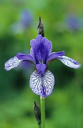 Iris sibirica 'Flight of Butterflies'