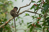 Baby Long-tailed Macaque (Macaca fascicularis) in the canopy of a strangler fig tree (Ficus dubia)