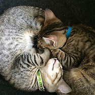 Roslyn Heights, NY: August 6, 2014--- Brother and sister kittens, litter mates,  curl up and form a kind of yin yang balance. Their warmth and harmony exudes peace. © Audrey C. Tiernan