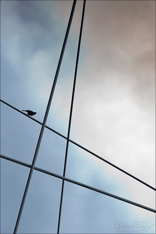 Starling on bridge cabling.
