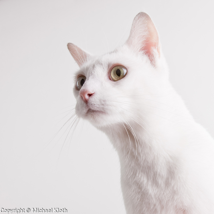 Domestic Short Hair Cat standing on a white seamless background.  The 6 year old cat was photographed while waiting for adoption at the humane society.  Pet photography by Michael Kloth.