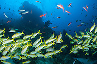 Divers and several species of schooling reef fish, including Mexican Goatfish<br /> <br /> <br /> Shot at Cocos Island, Costa Rica