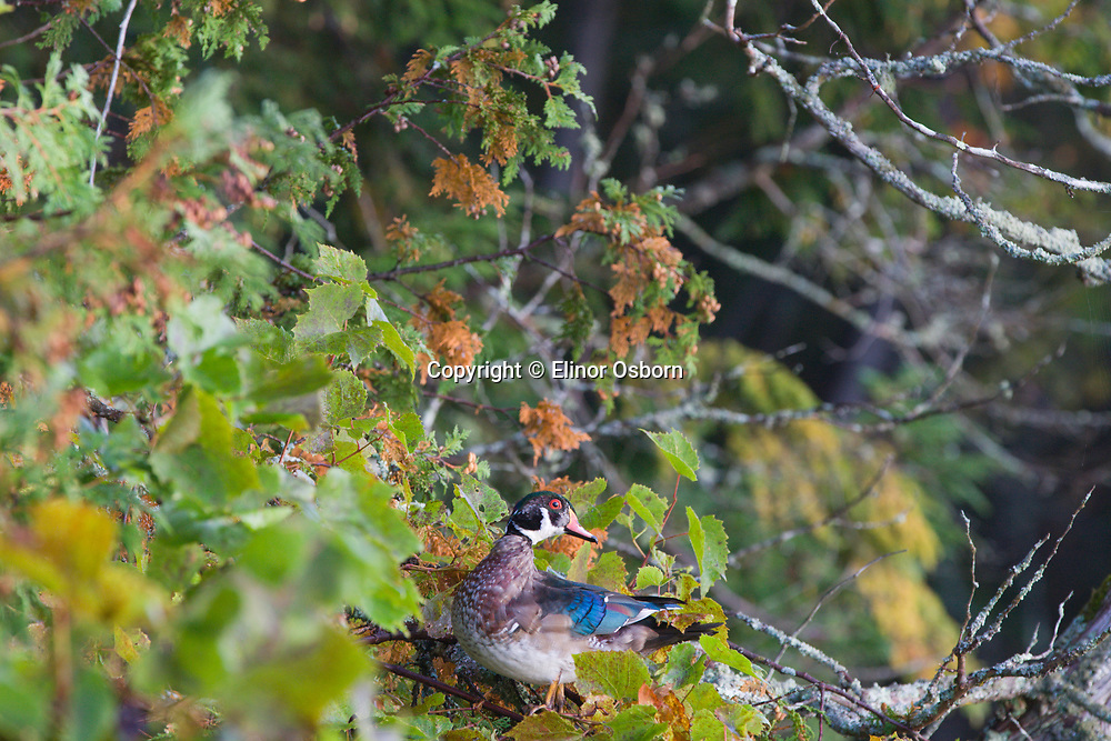 wood duck perched in grape vines